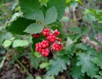 莓在森林里 免版税库存照片
