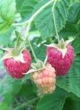 莓在灌木夏天在庭院里 库存图片