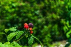 莓在阳光下有背景在树荫下 库存照片