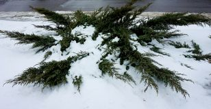 莓在雪的刺柏树丛 库存图片