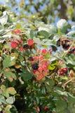 黑莓成熟。 免版税库存图片