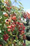 黑莓成熟。 免版税库存照片