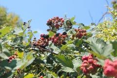 黑莓成熟。 库存图片