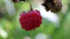 莓接近有被弄脏的背景 影视素材