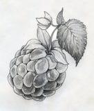 莓接近的剪影 免版税库存照片