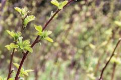 黑莓新芽在春天在被弄脏的背景(开花黑莓) 免版税库存图片