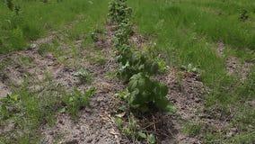 莓新芽在领域的 影视素材