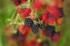 黑莓束在庭院里 库存照片