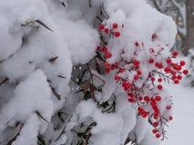莓果冬天 库存图片