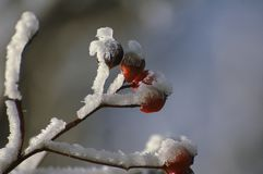 莓果分支隐蔽在雪 图库摄影