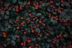 莓果和叶子在秋天在墙壁上 库存图片