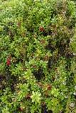 莓果和花在挪威 库存照片