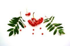 莓果和花揪绿色叶子在白色背景的 免版税库存照片
