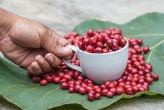 莓果咖啡 库存照片