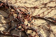 莓果在干燥登山人树的不少排序冬天在灰浆墙壁上上升了 免版税库存图片