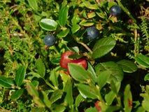 莓果在森林里 免版税库存图片