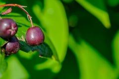 莓果在阳光下 免版税图库摄影