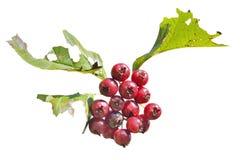 莓果山楂树18 免版税库存照片