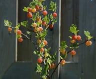 莓果成熟鹅莓 图库摄影