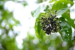 莓果的布什 背景bokeh音乐注意主题 免版税图库摄影