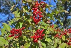 莓果箭头木头15 库存图片