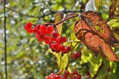 莓果箭头木头13 库存照片