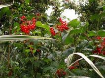 莓果红色荚莲属的植物 免版税库存照片