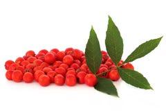 莓果花揪 免版税库存照片