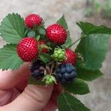 莓果花束 库存照片