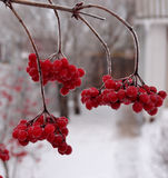 莓果荚莲属的植物 免版税库存图片