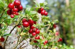 莓果蔓越桔和青苔在森林里 免版税库存照片