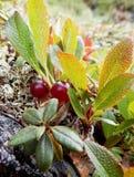 莓果蔓越桔 库存照片