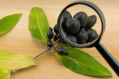 黑莓果通过在木背景的一个放大镜 库存照片