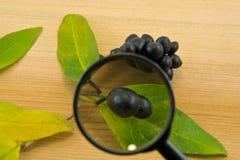 黑莓果通过在木背景的一个放大镜 库存图片