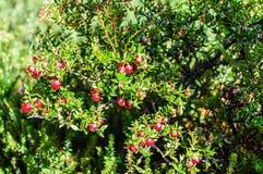 莓果,火地群岛国家公园,乌斯怀亚,阿根廷 免版税库存照片