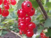 莓果,特写镜头,颜色,无核小葡萄干,点心,饮食,吃,食物,生气勃勃,果子,庭院,食家,绿色,叶子,自然,自然, nutr 库存图片