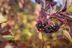 莓果水多的chernoplodku群 免版税图库摄影