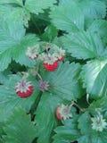 莓果 草莓 夏天 绿色 叶子 免版税库存图片