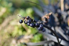 黑莓果 图库摄影