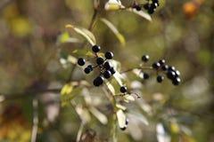 黑莓果 免版税库存照片