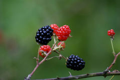 黑莓果 库存照片