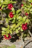莓果cranberrie 免版税库存照片