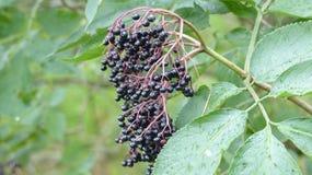 黑莓树 库存图片