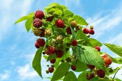 莓灌木用成熟和红色莓果 免版税图库摄影