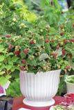 莓灌木 免版税库存图片