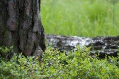 黑莓灌木 库存图片