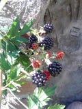黑莓的 免版税库存图片
