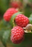 莓红色 免版税库存图片