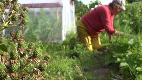 黑莓莓果在庭院和农夫妇女杂草植物中增长 股票视频