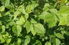 莓(悬钩子属植物L ) 是落叶家庭蔷薇科的灌木或灌木 图库摄影